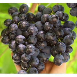 Adamas vinič stolový modrý veľmi skorý rezistentný..