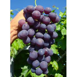 Armani stolový vinič modrý veľmi skorý rezistentný..