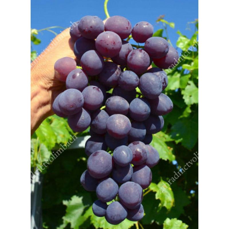 Armani stolový vinič modrý veľmi skorý rezistentný C1,5L