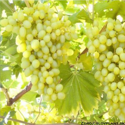 Božij dar stolový vinič rezistentný jantarový žltý veľmi veľký prostokorenný