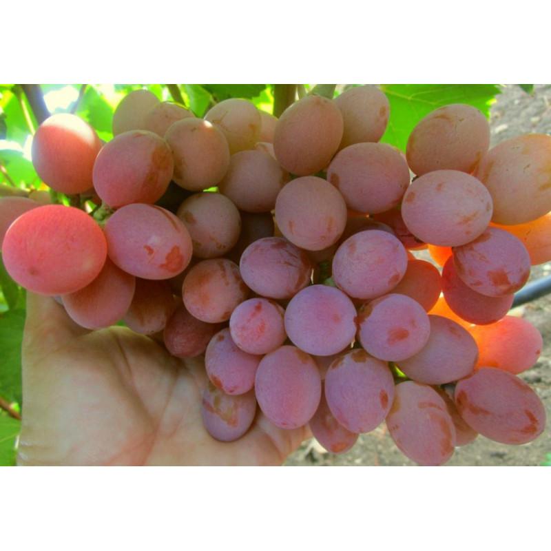Gurmán Rannyj vinič stolový veľmi skorý rezistentný C1.5L / 60-80cm