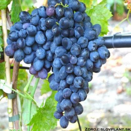 Ivanka bezsemenný stolový vinič rezistentný veľký tmavo modrý prostokorenný