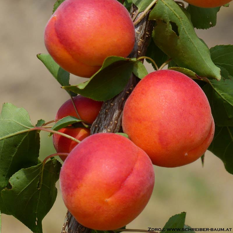 Samourai marhuľa oranžová skorá podpník wavit prostokorenná