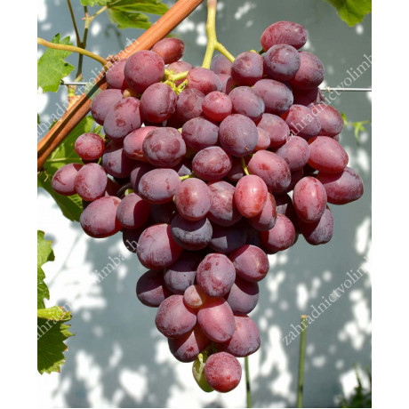 Marselo stolový vinič červený skorý rezistentný C1,5L