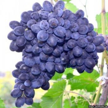Nero stolový vinič modrý stredne skorý rezistentný C2L