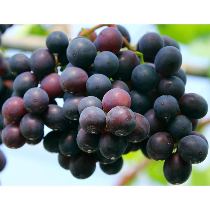 Šaráda vinič stolový modrý super skorý rezistentný C1.5L / 60-80cm
