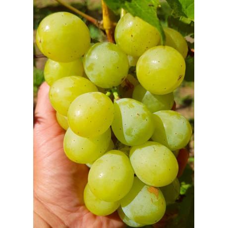 Smaragd vinič stolový rezistentný C1.5L / 60-80cm