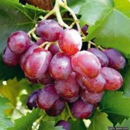 Taldun stolový vinič sladký červený rezistentný prostokorenný