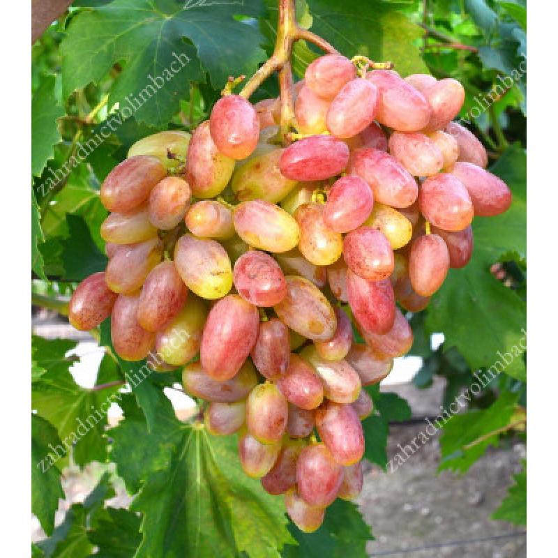 Uch Ty stolový vinič ružový veľmi skorý rezistentný C1,5L
