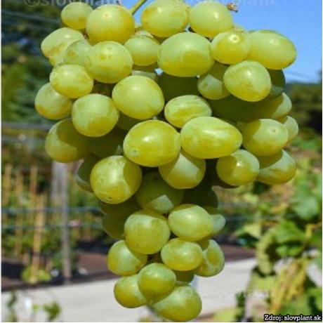 Super Extra stolový vinič sladký skorý žltý rezistentný prostokorenný