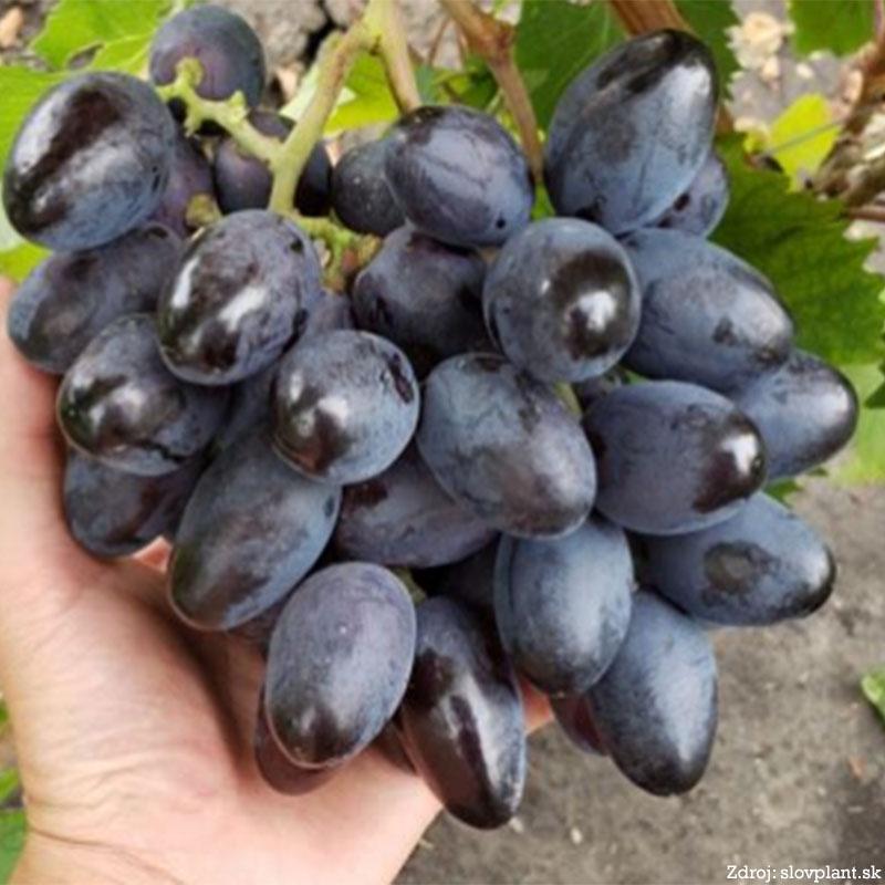 Bogatyr stolový vinič rezistentný skorý tmavomodrý prostokorenný