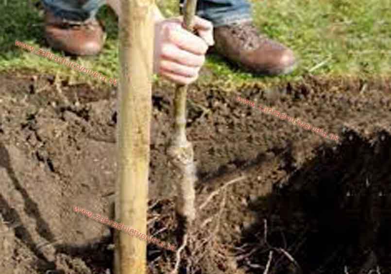 Kopanie jamy pred sadením stromku