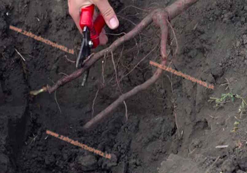 Rez koreňov stromčeka pred vysadením