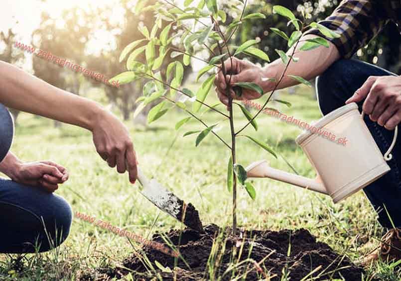 Sadenie stromčeka so zaliatím